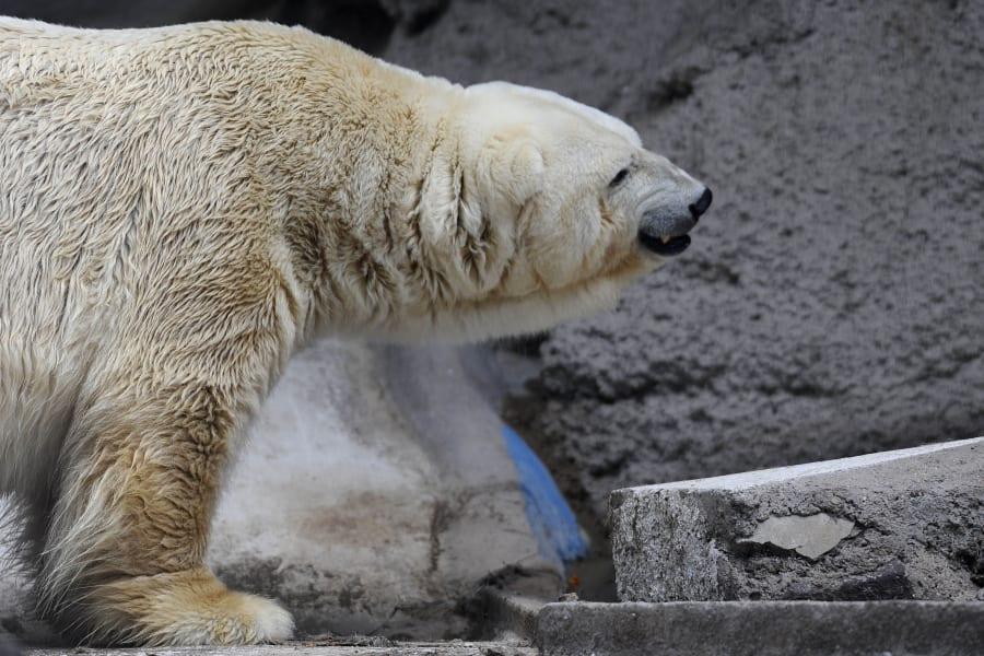 arturo polar bear argentina 1