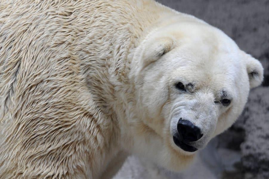 arturo polar bear argentina 1arturo polar bear argentina 3
