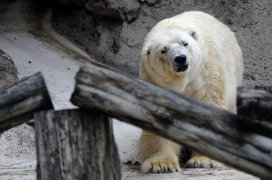 arturo polar bear argentina 2
