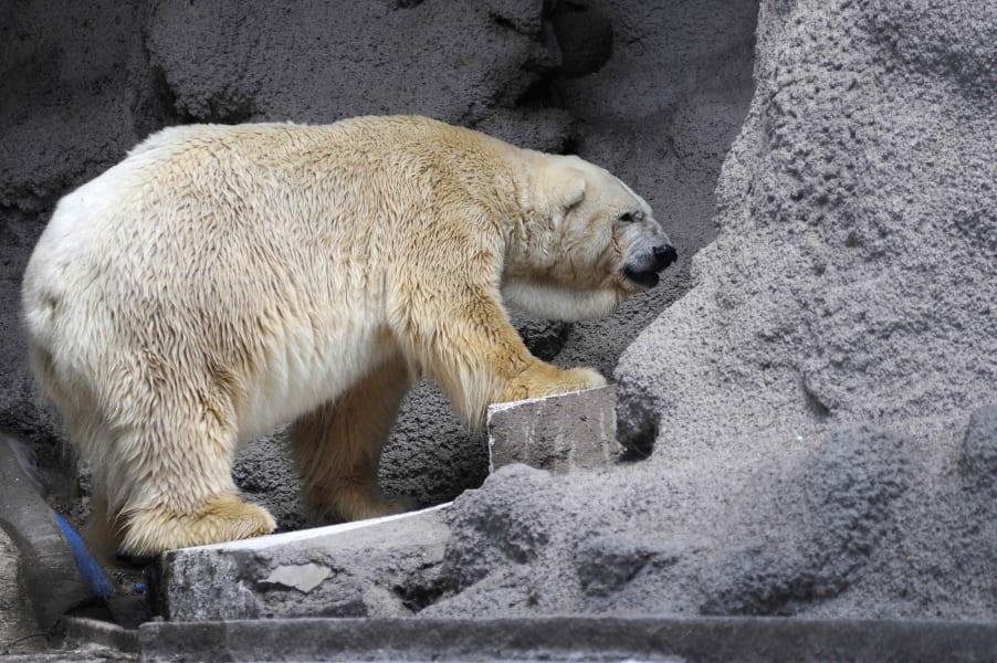 arturo polar bear argentina 4