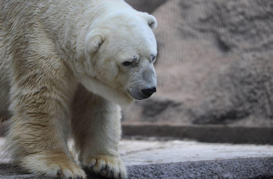 arturo polar bear argentina 5