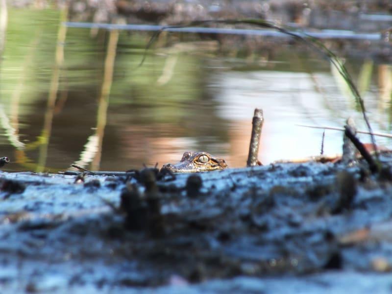 tpod baby alligator irpt