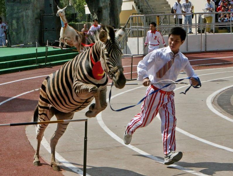 zebra hurdles