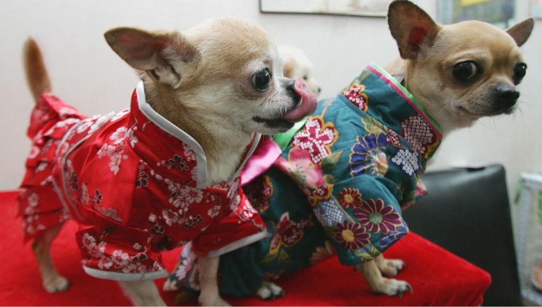 china pets chihuahuas