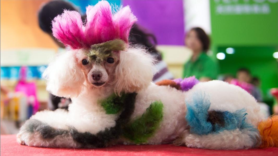 china pets poodle