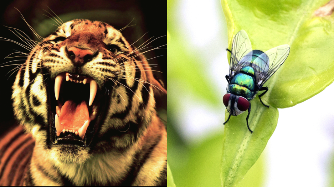 China tigers and flies