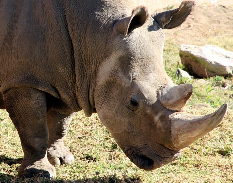 irpt white rhino