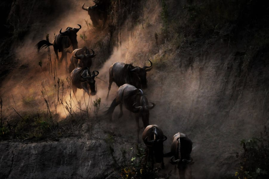 animal migration - wildebeest
