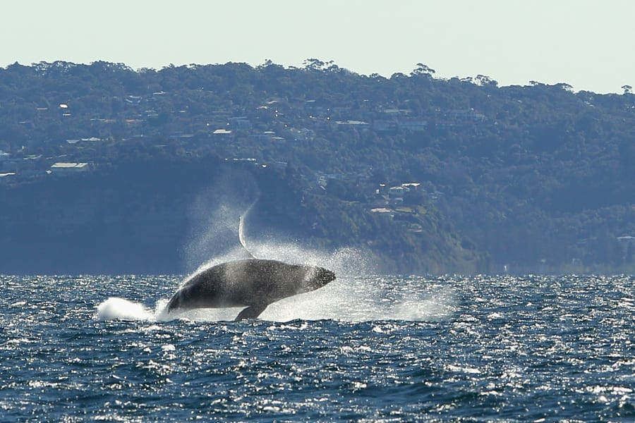 animal migration - humback whale