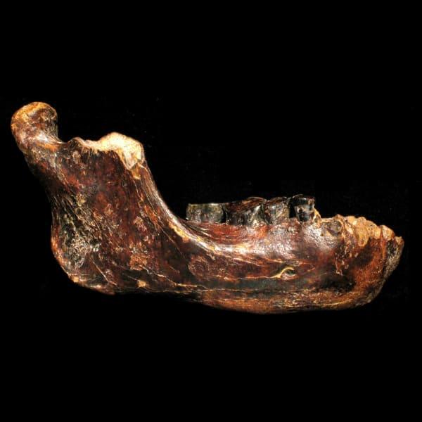 taiwan fossil jawbone
