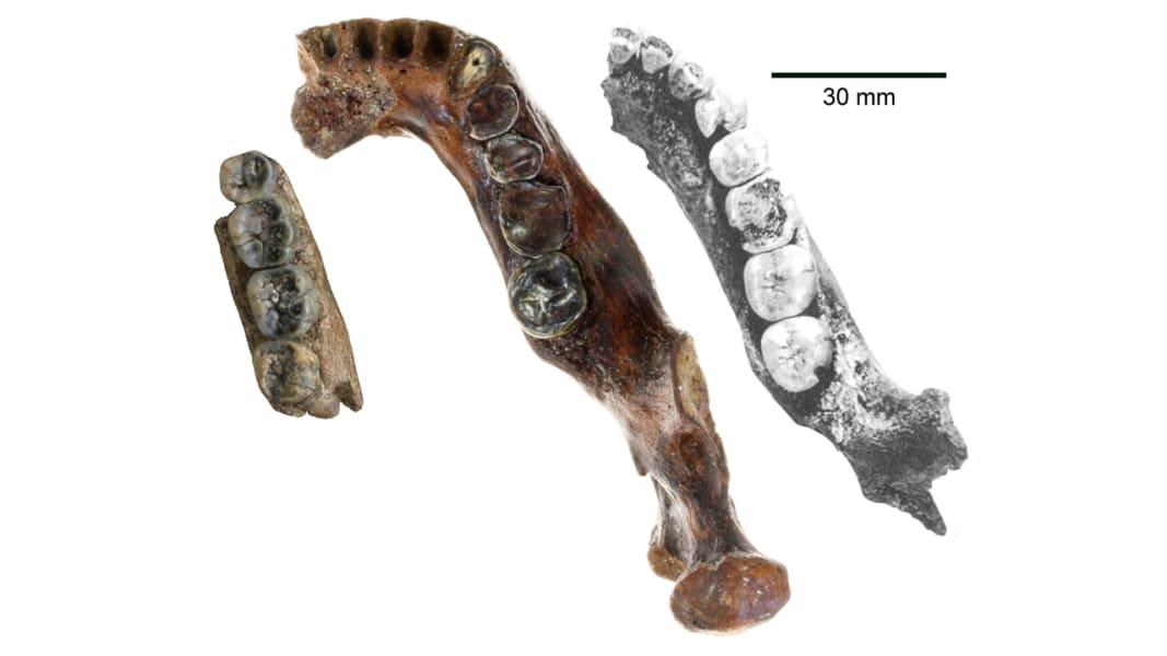 taiwan fossil jawbone comparison