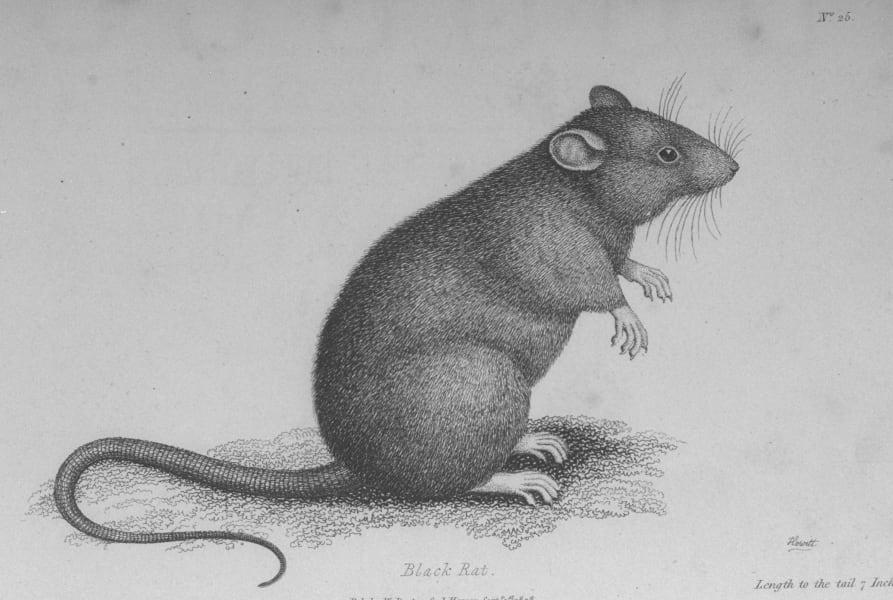 aman rat