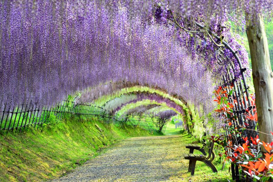 beautiful japan Kawachi Wisteria
