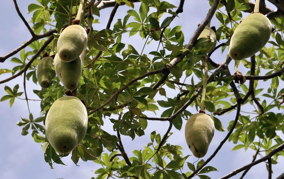 baobab tree fruits senegal