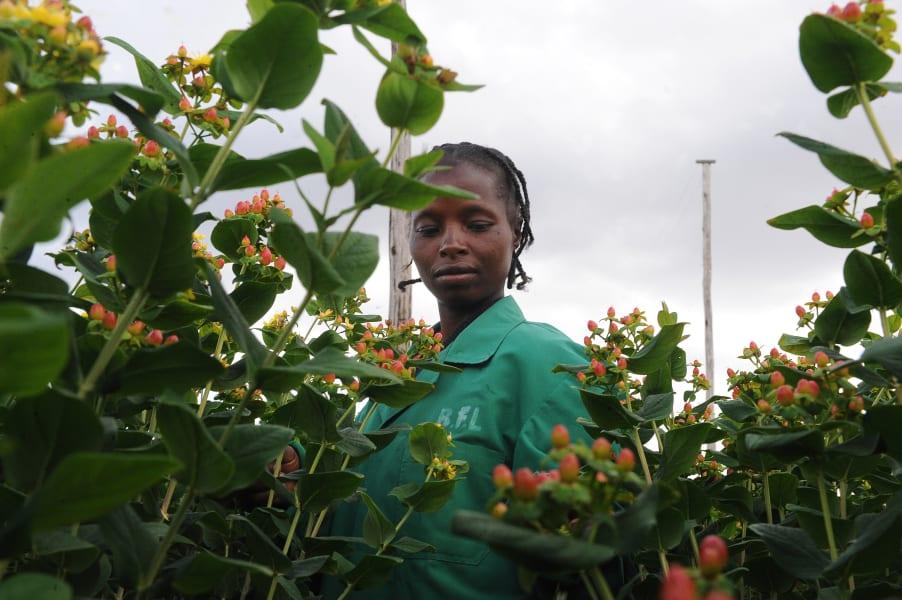 kenya flowers rymie hypericum