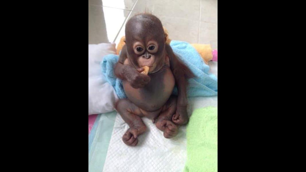 budi orangutan