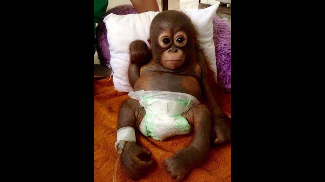 02 orangutan budi