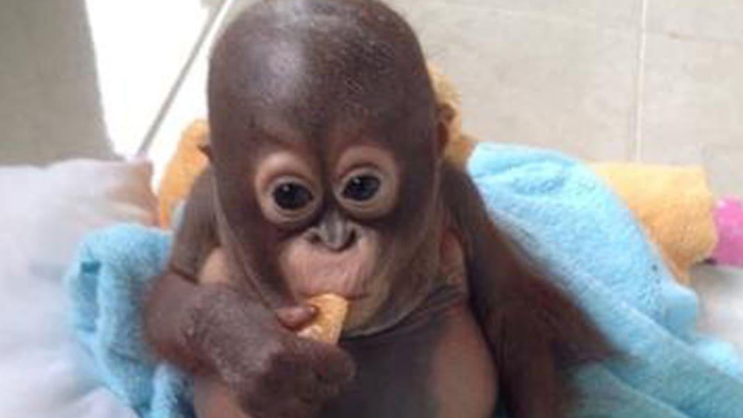 budi orangutan TEASE