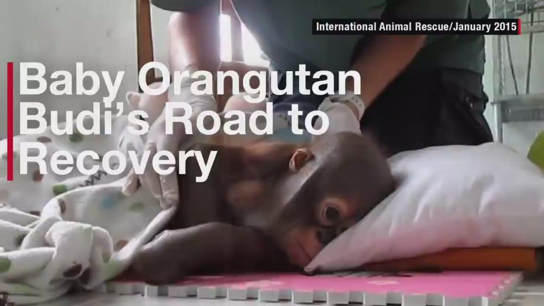 baby orangutan Budi recovery orig_00000123