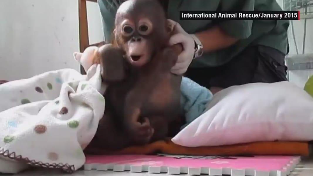 baby orangutan Budi recovery orig_00000724