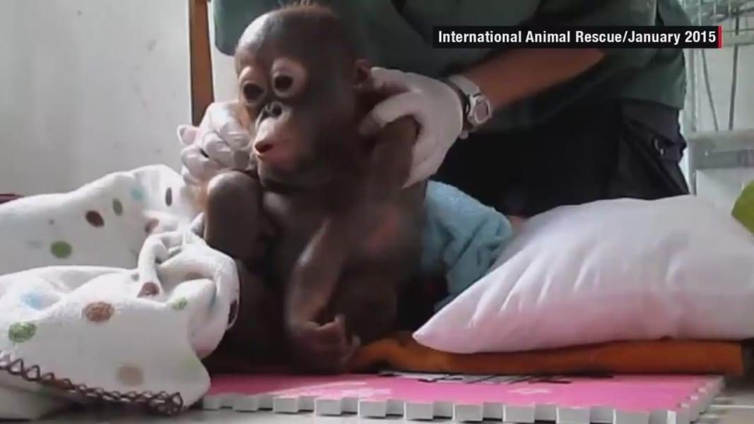 baby orangutan Budi recovery orig_00000918