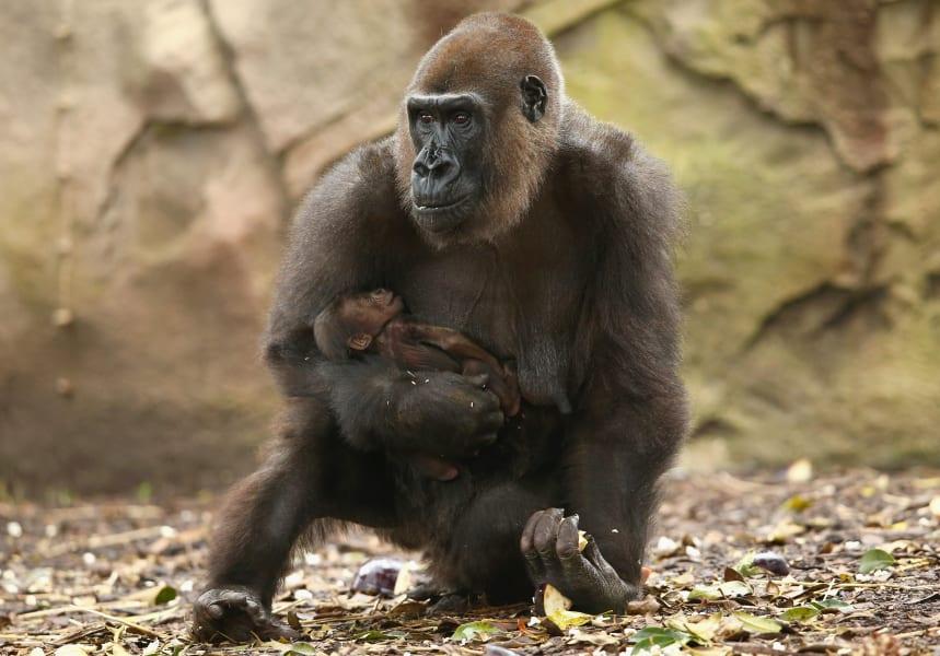 Defining moments - gorilla gives birth