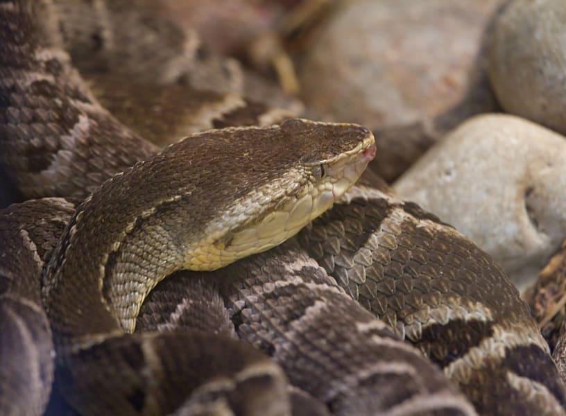 Brazilian lancehead viper venom