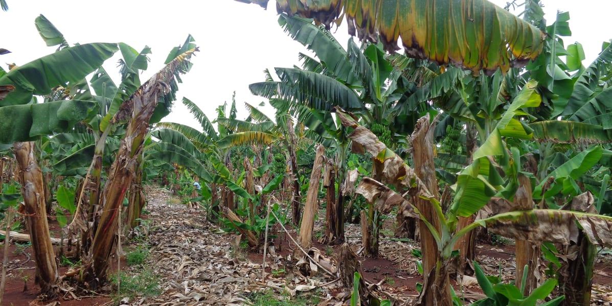 banana tp4 mozambique