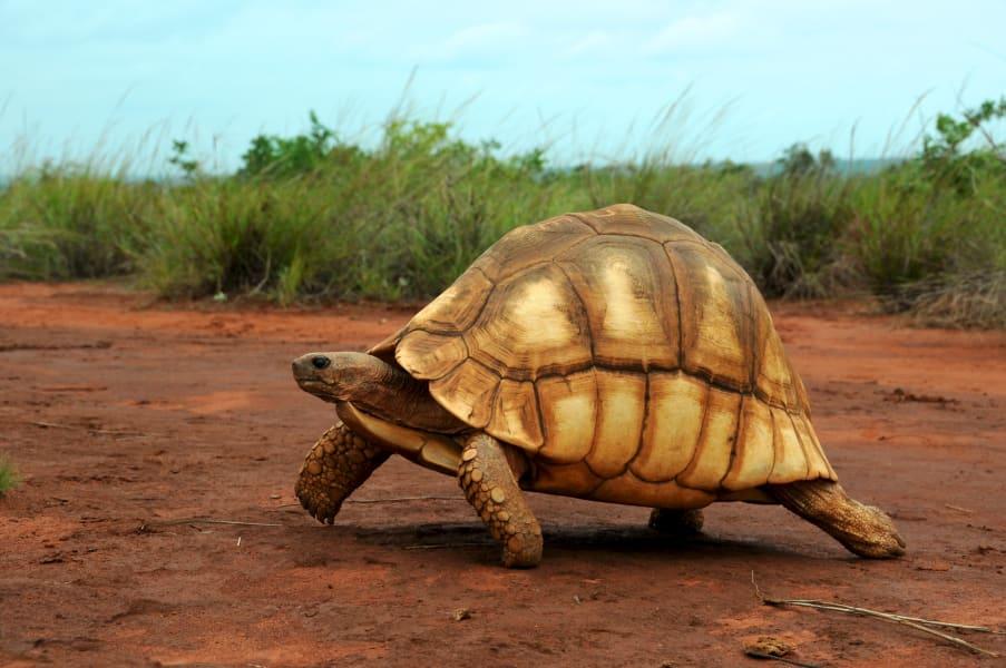 ploughshare tortoise field