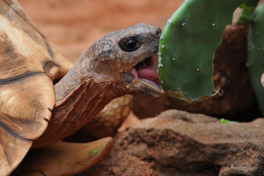 ploughshare tortoise eating