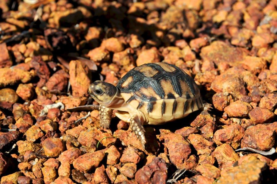 ploughshare tortoise  hatchling