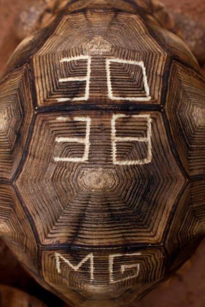 ploughshare tortoise result