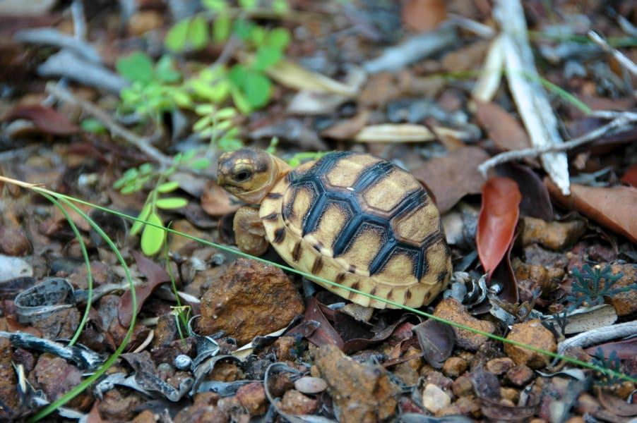 ploughshare small tortoise