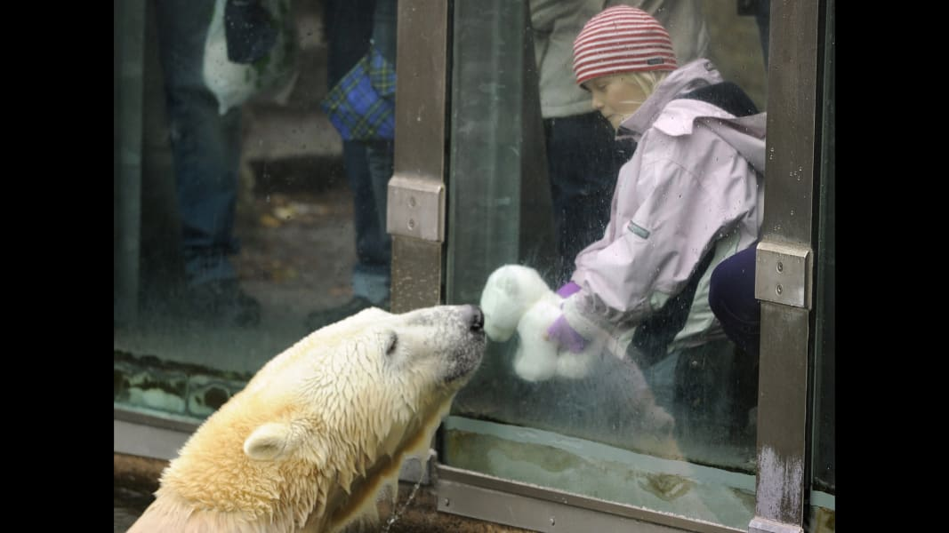 knut the polar bear