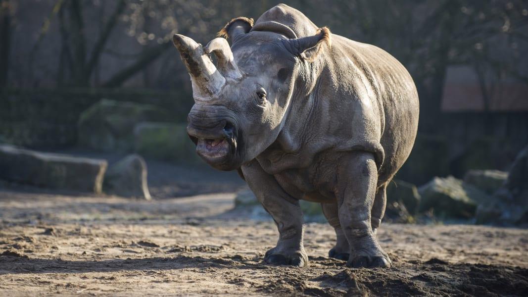 Nabire white rhino FILE