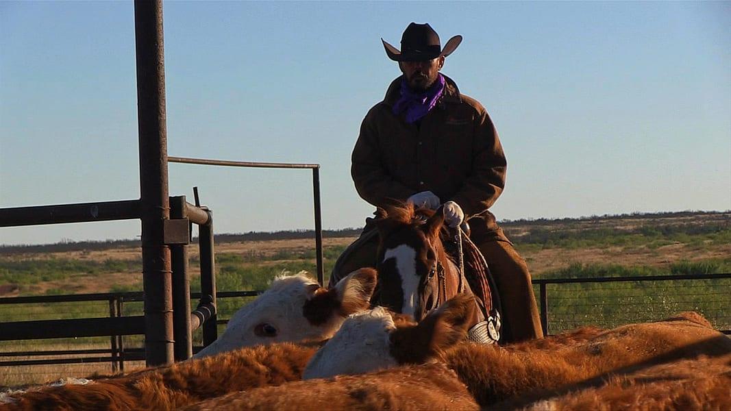 waggoner cowboy cattle