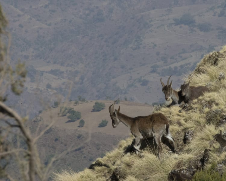 walia ibex cliff edge