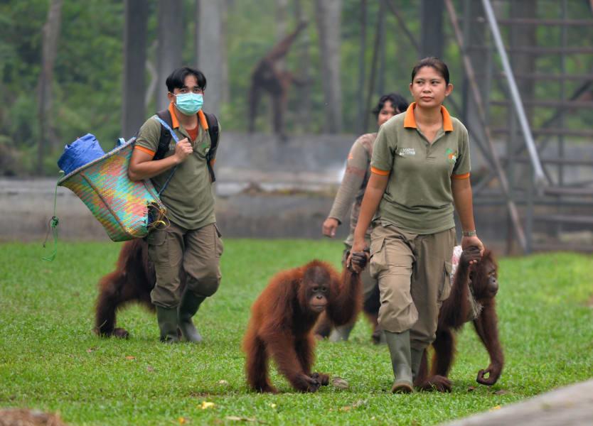 indonesia haze orangutans 1026
