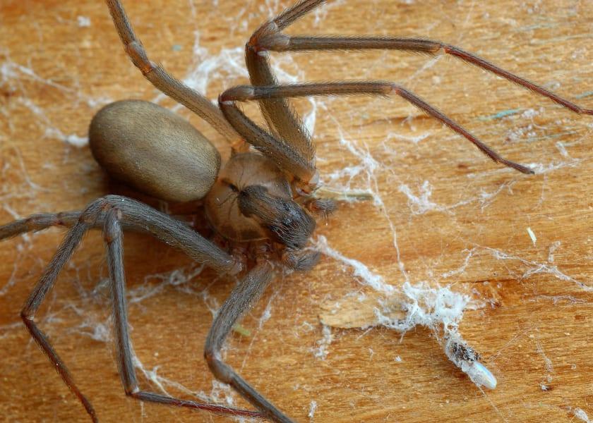 01 dangerous spiders brown recluse