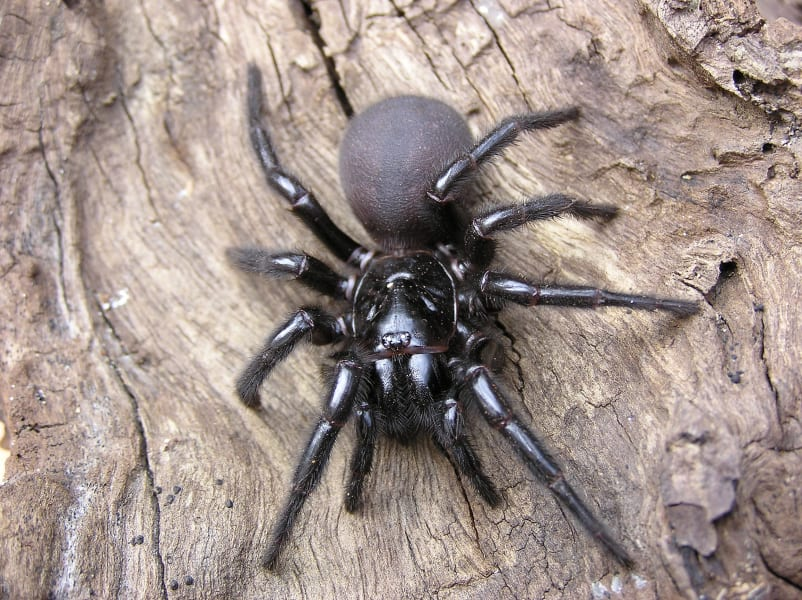 05 dangerous spiders Sydney funnel spider