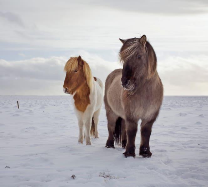 Icelandic horses 7