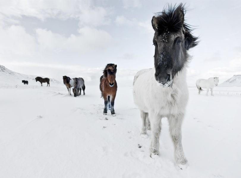 Icelandic horses 13