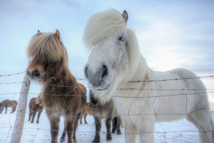 Icelandic horses 14