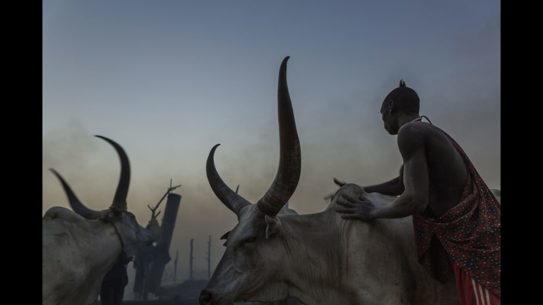 RESTRICTED mundari cows 14