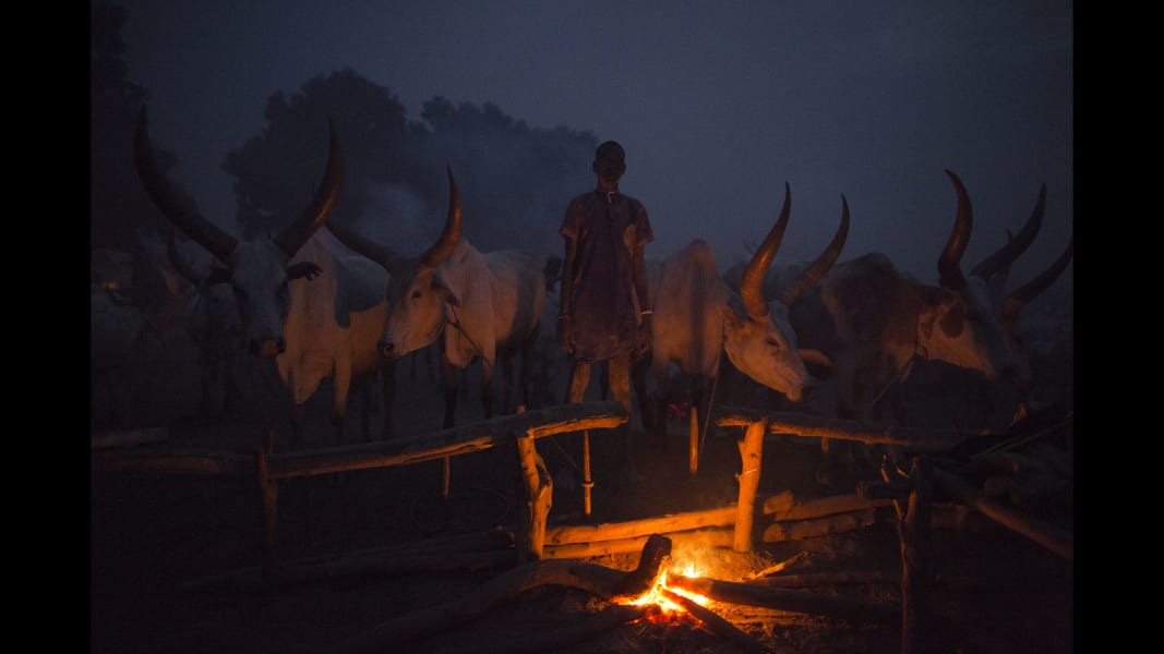 RESTRICTED mundari cows 15
