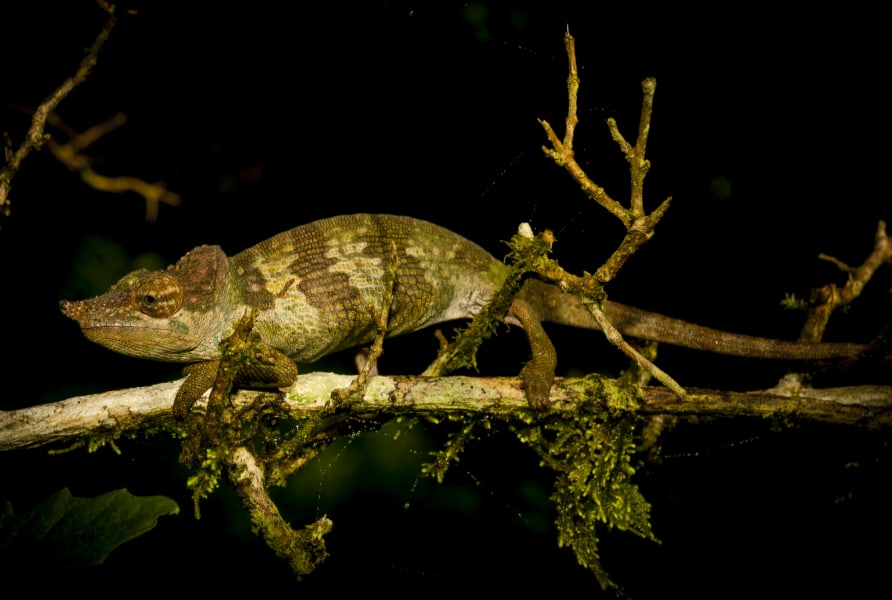 WCS Tanzania Chameleon