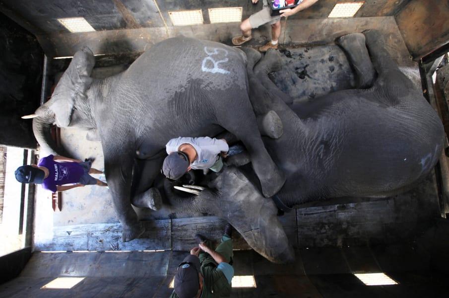 elephant relocation 8