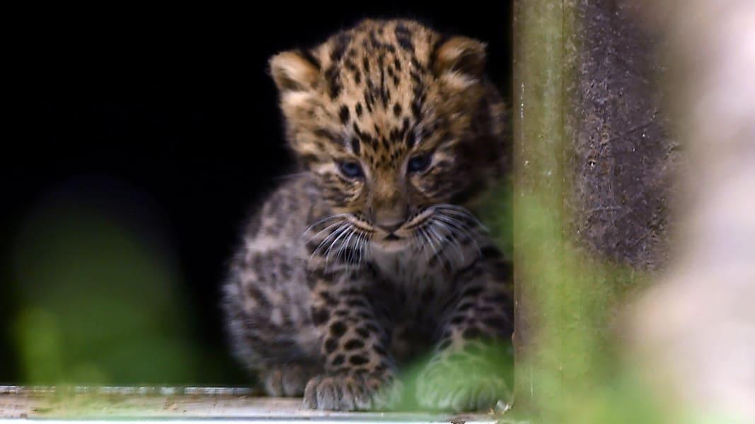01 Amur leopards UK