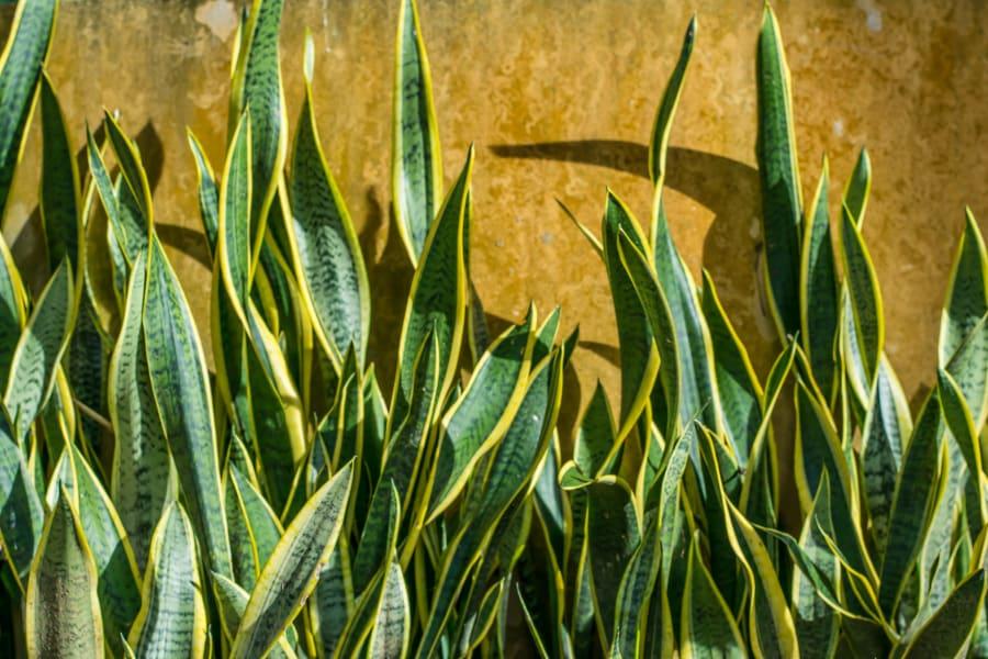 Sanservieria trifasciata