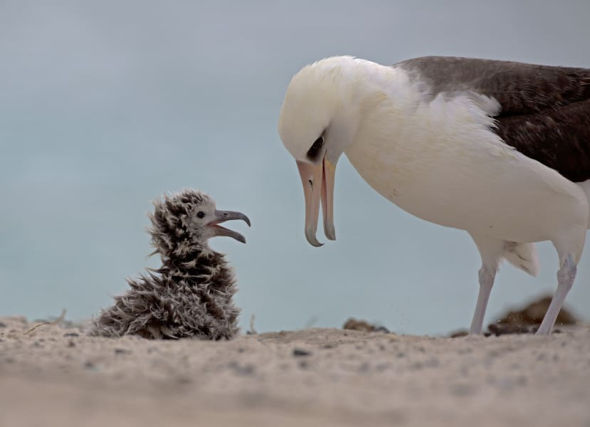 Midway Laysan Albatross